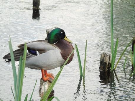 2017-04-15-duck