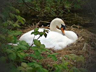 2017-04-24-swan