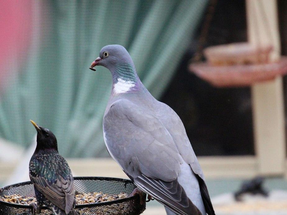 pigeon&starlingweb