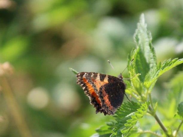 butterfly326_6_17web