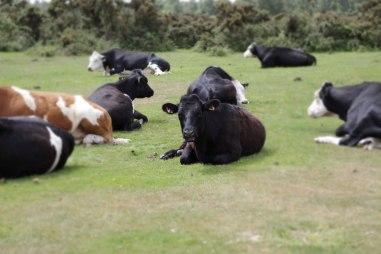 cowssundayweb