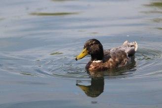 duck2wedweb