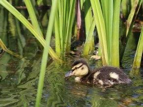 ducklingwedweb