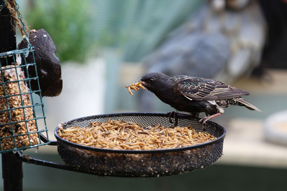 My mealworms bring all the birds to the yard…