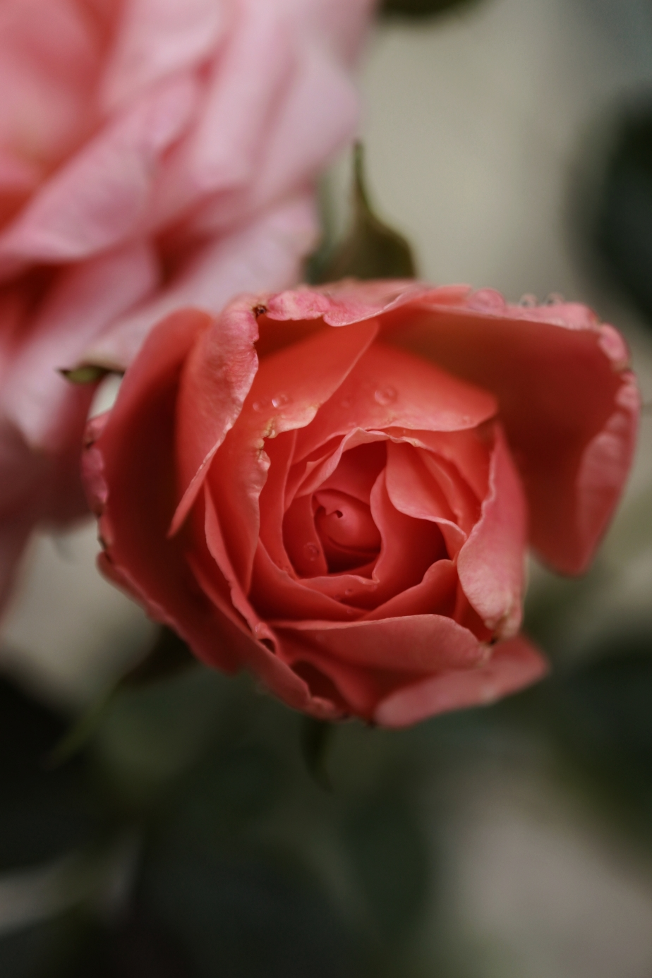 rosefri