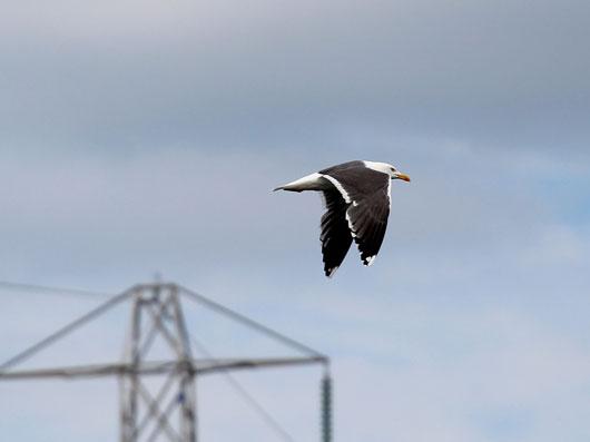 seagull26_6_17web