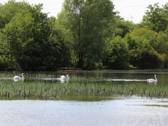 swan1web
