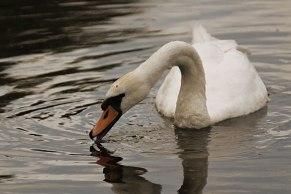 swan2web