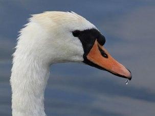 swan4web