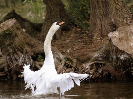 swanmoulting