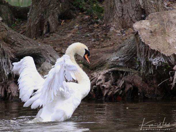 swanshaking